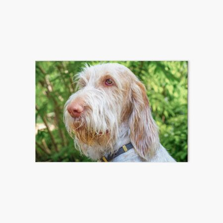 Thinking thoughts Spinone Art Board Print