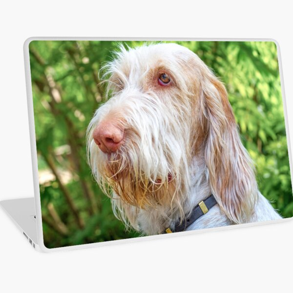 Orange and White Italian Spinone Dog Head Shot Laptop Skin