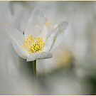 Wood Anemone by hary60