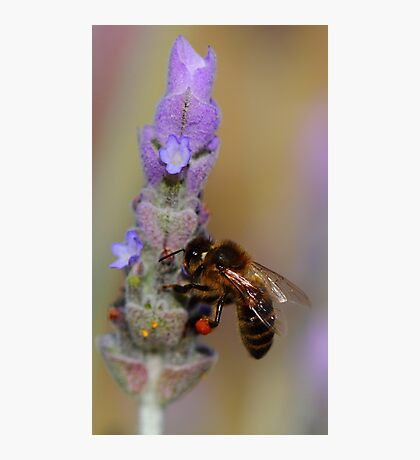 """Lavender Pollen Outlet"" Photographic Print"