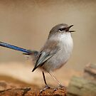 Splendid Blue Wren by Jodi Turner
