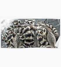 Ring -Tailed Lemur Poster