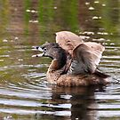 Pie Billed Grebe Calling by Kathy Baccari