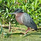 Green Backed Heron Ruffled Crest by Kathy Baccari