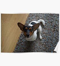 jack russel dog Poster