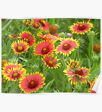 Morning Indian Blankets - Wildflowers Poster