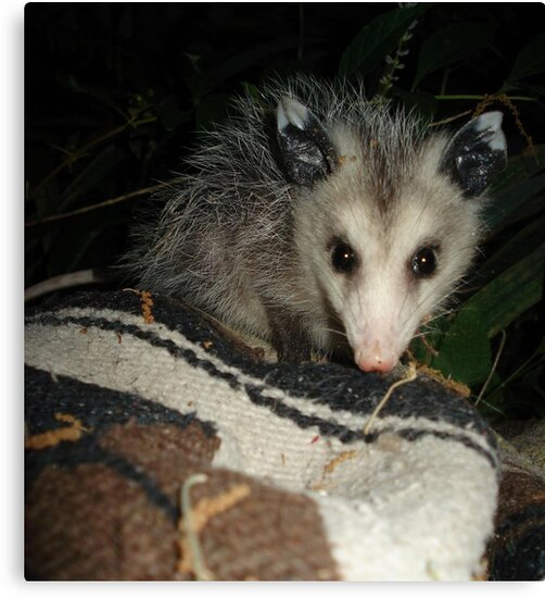 BABY OPOSSUM by May Lattanzio