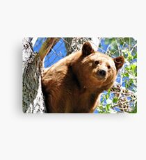 Black Bear cinnamon color variation Canvas Print