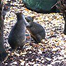 Beautiful Tasmania - two Padamelons by georgieboy98