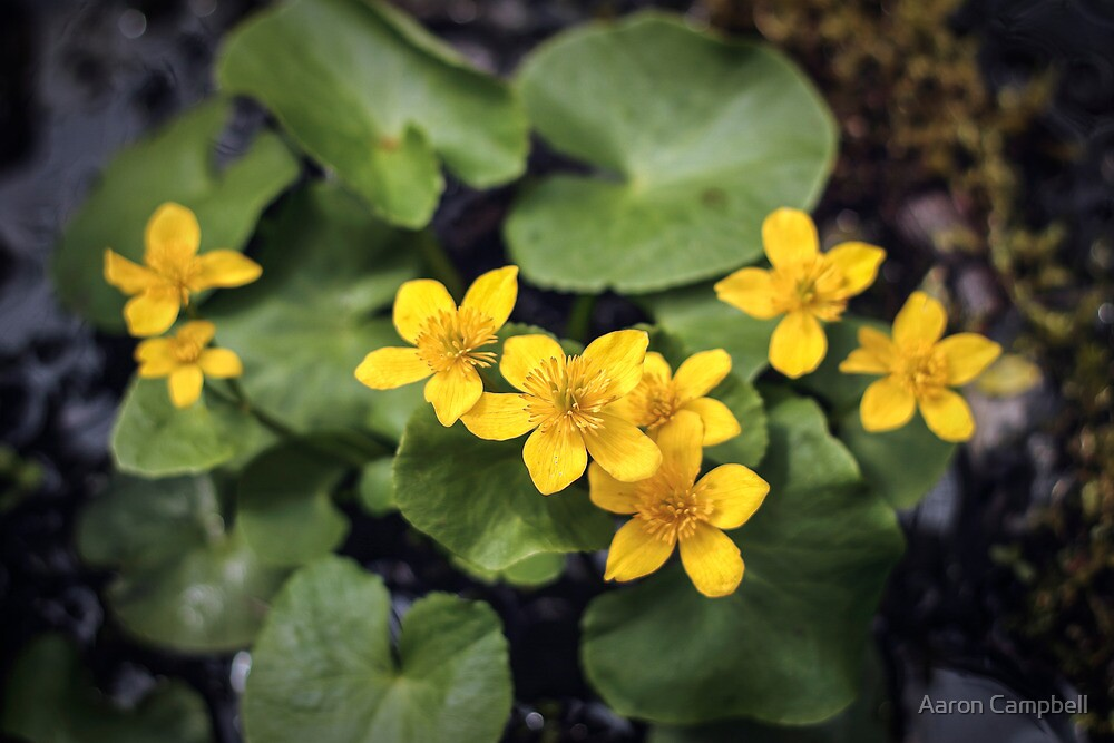 Marsh Marigold by Aaron Campbell