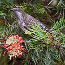 Anthochaera chrysoptera Little Wattlebird by David  Piko