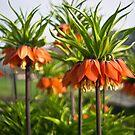 Fritillaria by Karen Havenaar