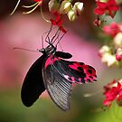 Black and Red Butterfly by Ralph Angelillo