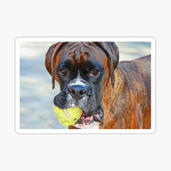 Tennis anyone??... -Boxer Dogs Series- Sticker