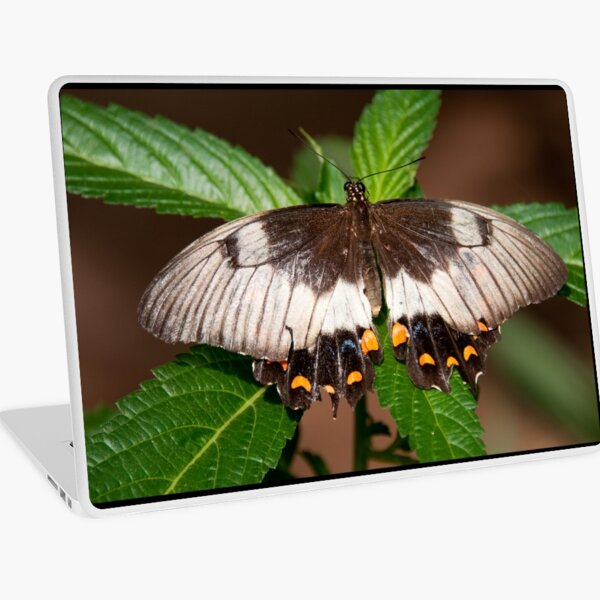 Orchard Swallowtail Butterfly, Northern Territory, Australia Laptop Skin