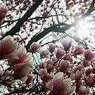 Looking up through Magnolia Tree by Chinita128