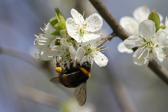 Bee In Spring by Samantha Higgs