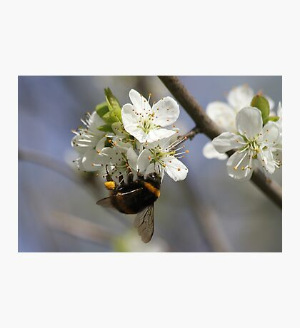 Bee In Spring Photographic Print