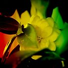 Flower Of Color by kfurniz
