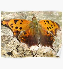 Eastern Comma Polygonia Comma Poster