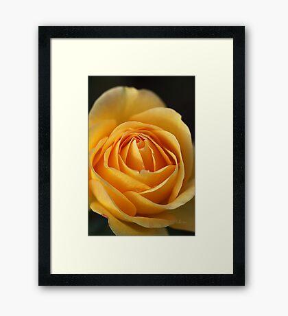 Rich As Rose Framed Print
