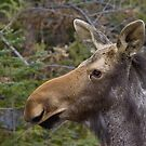 Young Moose by Wayne Wood