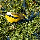 Evening Grosbeak by Wayne Wood