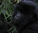 Juvenile Mountain Gorilla, Rwanda by Carole-Anne