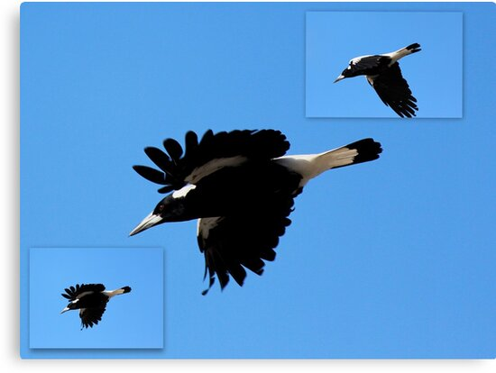 Magpies Swooping Down by alycanon