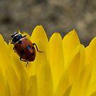 Ladybird Love by Amy Dee