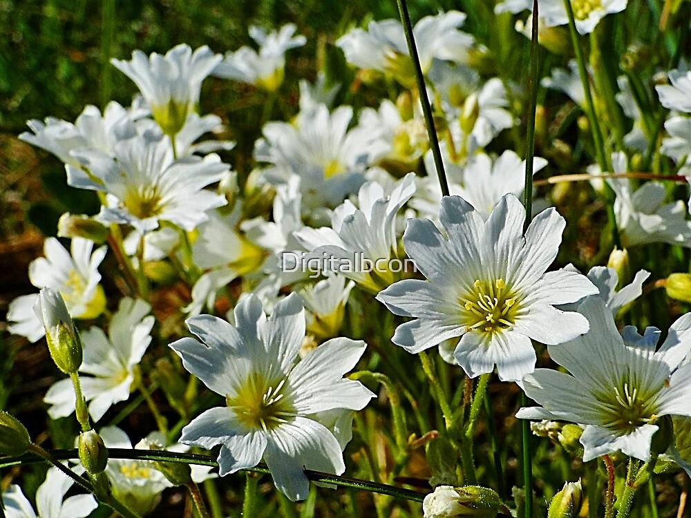 Field Chickweed - Cerastium arvense by Digitalbcon