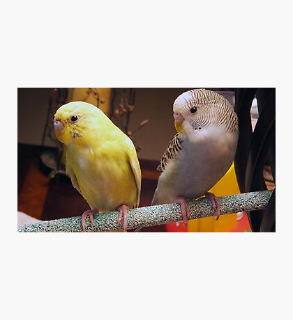New Parakeets in the Family Photographic Print