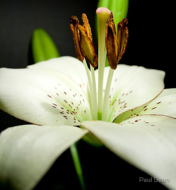 Spotted Lily by Paul Dean