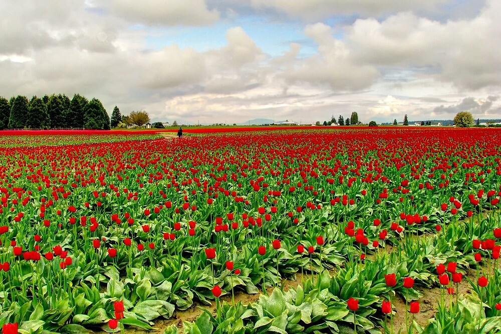 Tiptoe Through the Tulips by Tracy Friesen