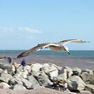 Sea gull in flight by Alice Oates