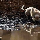 Langur Monkey at Waterhole Ranthambore by SerenaB