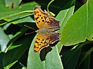 Comma Anglewing Butterfly - Polygonia c-album by MotherNature