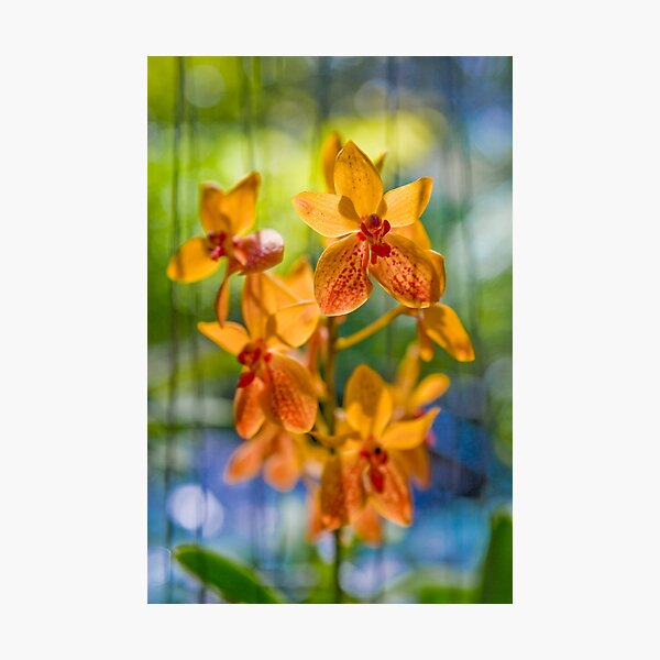 Orchidees flottantes  Photographic Print