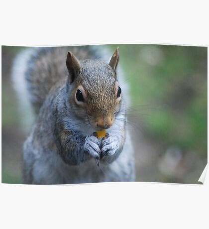 Western gray squirrel Poster