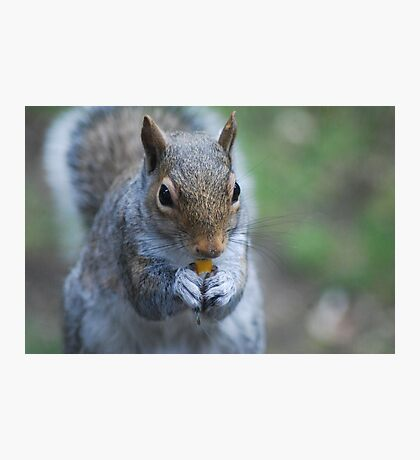 Western gray squirrel Photographic Print
