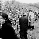 Grape Picking Unavale Wines by Andrew  Makowiecki