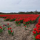 Red Tulips by Rob Schoon