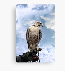 falcon perched on leather glove Canvas Print