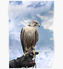 falcon perched on leather glove Poster