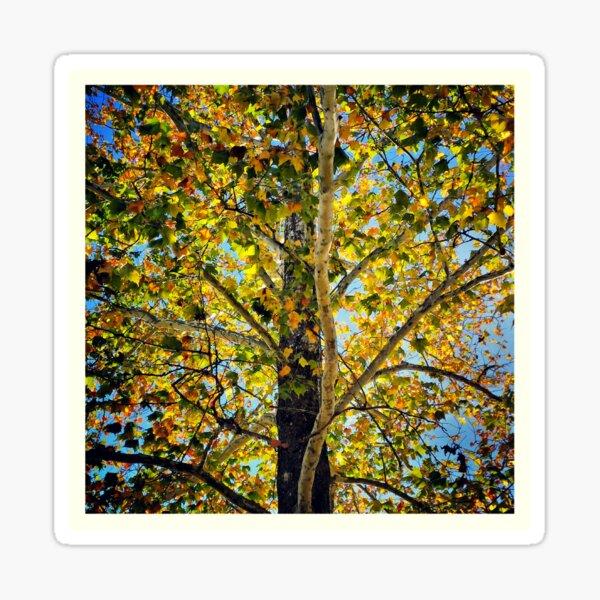 Autumn Sycamore Sticker