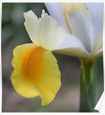Linda flor de lis Poster