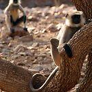 Langur Monkey in Tree Ranthambore by SerenaB