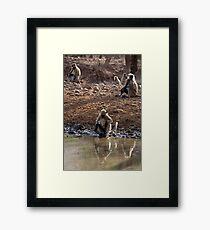 Langur Monkeys at Waterhole Ranthambore Framed Print