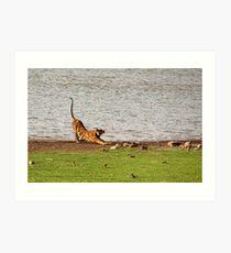 Tiger Stretching Ranthambore Art Print
