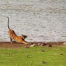 Tiger Stretching Ranthambore by SerenaB
